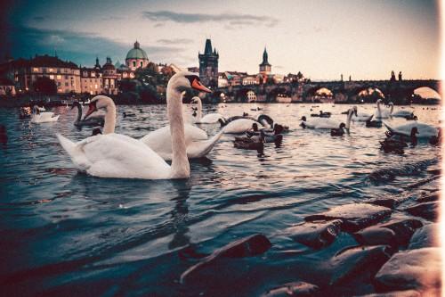 swans-charles-bridge-prague.jpg
